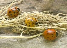 trzy ladybirds Zdjęcia Royalty Free