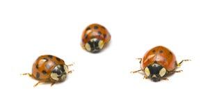 trzy ladybirds Fotografia Stock