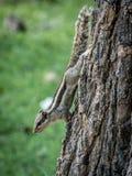 Trzy lampasa Funambulus palmarum indyjskiego palmowego wiewiórczego chodzenia zestrzela drzewa zdjęcie stock