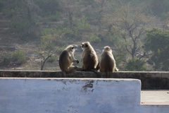 Trzy Langur Małpia gadka Fotografia Stock