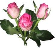 Trzy lekki - różowe róże pączkują na bielu Obraz Royalty Free