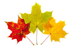 Trzy liścia różni kolory Fotografia Royalty Free