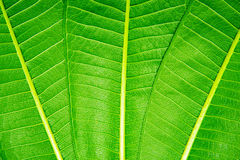 Trzy liścia zielony tło zdjęcie stock