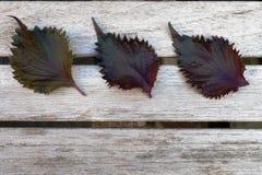 Trzy liścia purpurowy shiso perilla ziele obraz royalty free