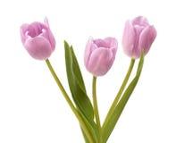 Trzy lilego tulipanu Fotografia Stock