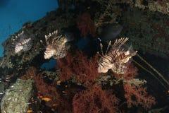 Trzy lionfish obrazy stock