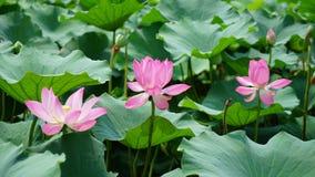Trzy lotosowego kwiatu stoją w stawie w lecie obraz royalty free