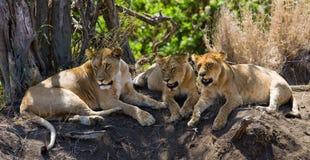 Trzy lwicy kłamają wpólnie Kenja Tanzania africa kmieć Maasai Mara Obraz Royalty Free