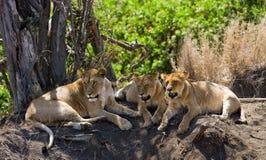 Trzy lwicy kłamają wpólnie Kenja Tanzania africa kmieć Maasai Mara Fotografia Royalty Free