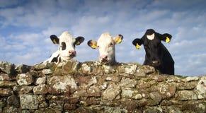 Trzy Mądry bydło Fotografia Stock