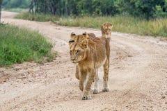 Trzy młodego lwa chodzi w kierunku kamery Obraz Royalty Free