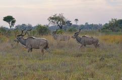 Trzy Męskiego kudu Obraz Royalty Free