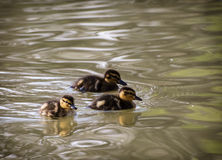 Trzy małego mallard kaczątka w wodzie Obrazy Royalty Free