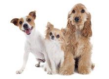 Trzy małego psa zdjęcie royalty free