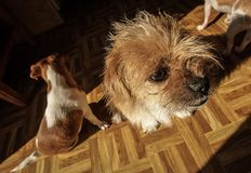 Trzy Małego psa Siedzi Na Kuchennej podłoga zdjęcia royalty free