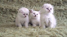 Trzy małej ślicznej puszystej figlarki z niebieskimi oczami zbiory wideo