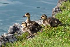 Trzy małej kaczki przygotowywali skakać w wodę obraz stock