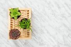 Trzy małej sukulent rośliny na marmurowym tle zdjęcie royalty free