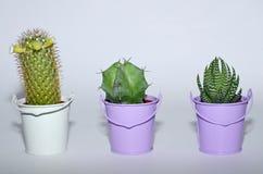 Trzy mały kaktus r w garnkach Zdjęcie Stock