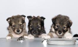 Trzy małego szczeniaka Zdjęcia Stock