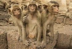 Trzy małpy Obraz Stock