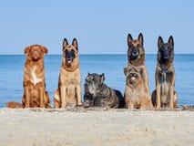 Trzy Malinois belg, Trochę Pyrenean Pasterski pies, trzcina Corso Fotografia Royalty Free
