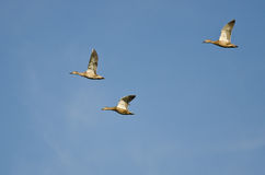 Trzy Mallard kaczki Lata w niebieskim niebie Obrazy Royalty Free