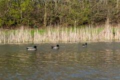 Trzy mallard kaczki pływają na stawie w parku obraz stock