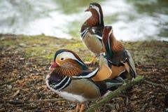 Trzy mandarynu kaczka Obrazy Stock