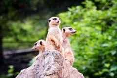 Trzy meerkat dopatrywanie Zdjęcia Stock