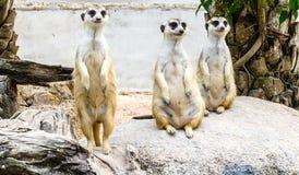 Trzy meerkat na skale obraz royalty free