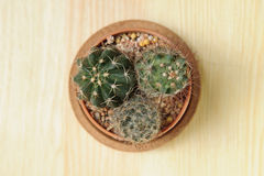 Trzy mini kaktus Fotografia Stock