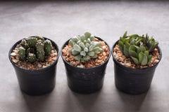 Trzy mini kaktus w garnkach obrazy stock