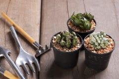 Trzy mini kaktus w garnkach Zdjęcia Stock