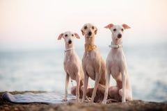 Trzy modnego włoskiej charcicy psa na plaży obraz royalty free