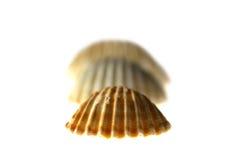 Trzy morski Shell Obraz Stock
