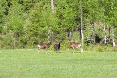 Trzy muflon na Zielonej trawie Obraz Royalty Free