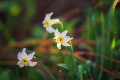 Trzy narcyzów kwiatów kwiat w parku Fotografia Royalty Free