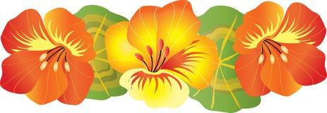 Trzy nasturcja kwiatu Fotografia Royalty Free
