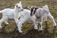 Trzy nowonarodzonej kózki na farmyard Fotografia Royalty Free