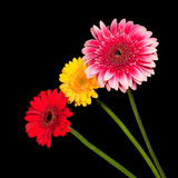 Trzy okwitnięcia kolorowy gerbera kwitną w różnorodnych kolorach Fotografia Stock