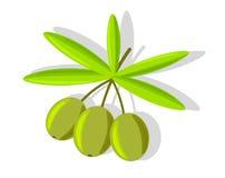 Trzy oliwki na gałąź z liśćmi odizolowywającymi na bielu ilustracja wektor