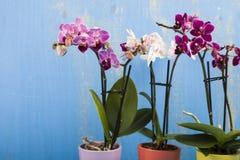 Trzy orchidei w garnkach Obrazy Stock