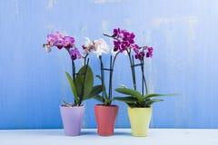 Trzy orchidei w garnkach Zdjęcia Stock