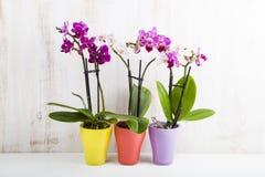 Trzy orchidei w garnkach Obraz Royalty Free