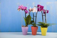 Trzy orchidei w garnkach Obraz Stock