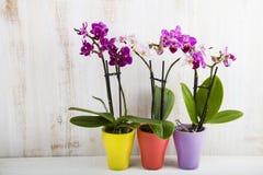 Trzy orchidei w garnkach Obrazy Royalty Free