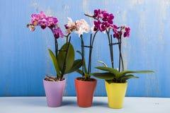 Trzy orchidei w garnkach Zdjęcia Royalty Free