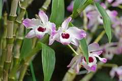 Trzy orchidei z menchii i bielu kolorem Fotografia Royalty Free