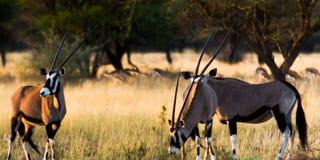 Trzy Oryx Gazella w parku narodowym Namibia z antylopą w tle obrazy stock